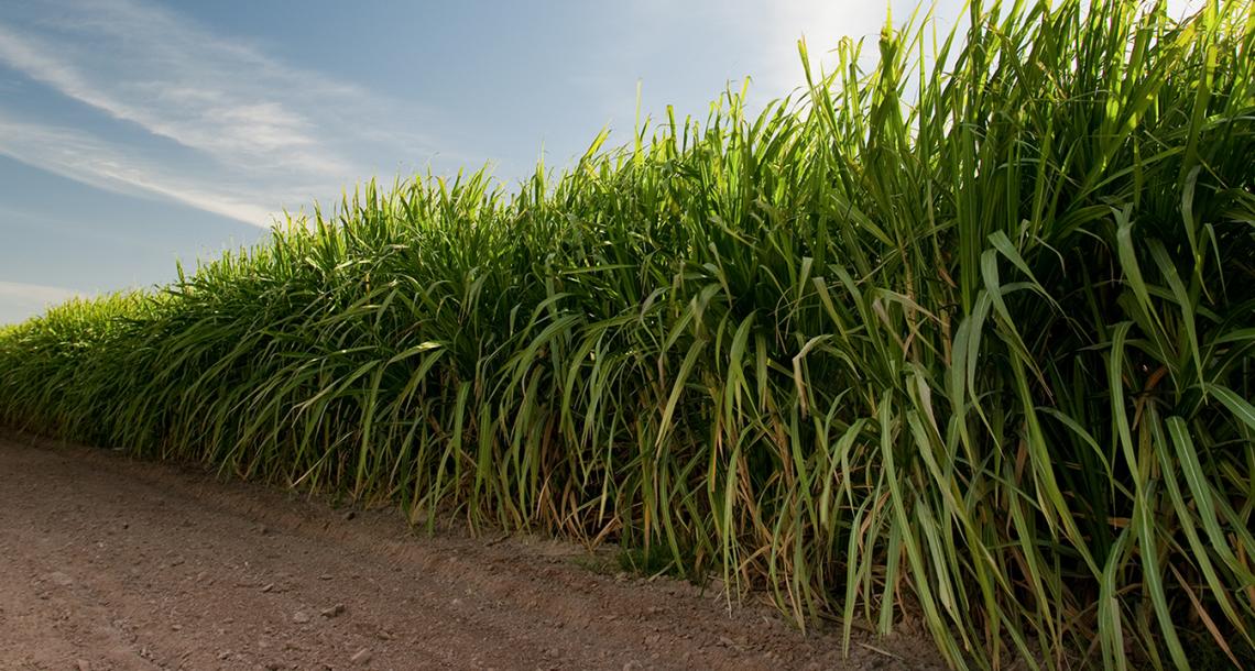 Gypsum Fertilizer for Sugarcane